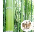 Семена бамбука Moso (100 шт.)