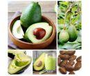 Семена косточки авокадо (10 шт.)
