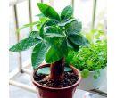 Цветок Пахира (Pachira) семена 2 шт.