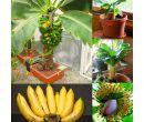 Семена карликового банана 200 шт.