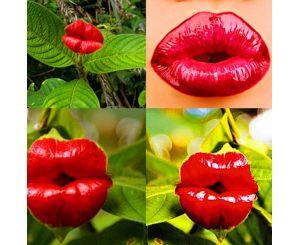 Семена цветка Psychotria Elata (цветок-губы 100 шт.)